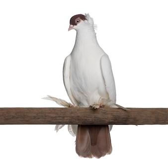 Польский шлем или kryska polska, порода голубей, сидящих на палке