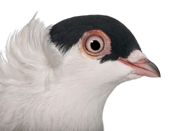 Польский шлем или kryska polska, порода голубей,