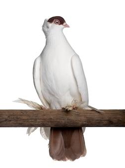 Польский шлем или kryska polska это порода голубей, сидящих на дереве