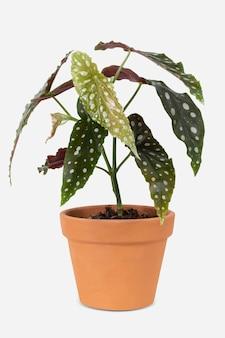テラコッタポットの家の装飾オブジェクトの水玉ベゴニア植物