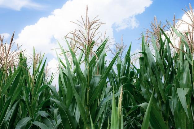 푸른 하늘과 함께 성장하는 옥수수 식물에 꽃가루.