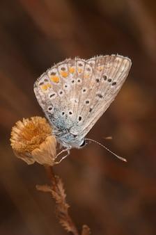 チョウ(polymmatus icarus)