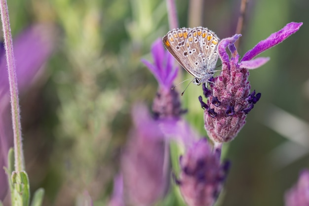 Polyommatus icarus. butterfly photographed in their natural environment.