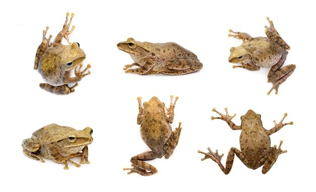茶色のカエル、polypedates leucomystax、polypedates maculatusのグループ。両生類。動物。