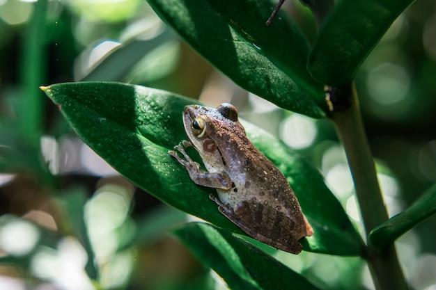 Polypedates leucomystax on the tree
