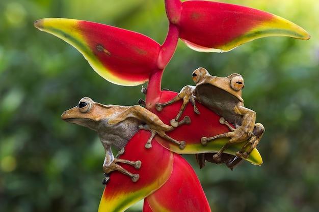 붉은 꽃 봉오리에 polypedates otilophus 근접 촬영 polypedates otilophus 전면 보기