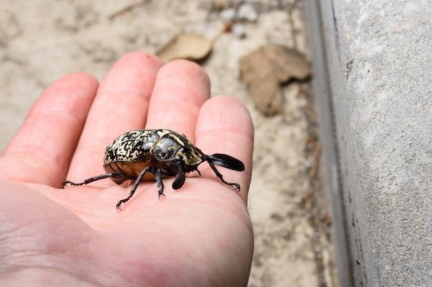 手にpolyphylla fulloカブトムシ