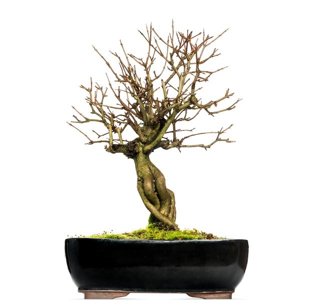 Гранатовое дерево бонсай, punica granatum, изолированное на белом