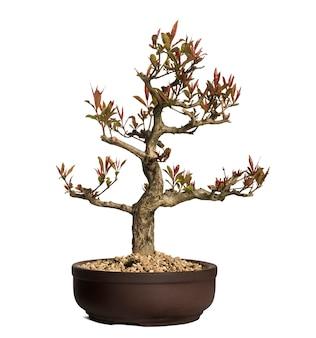 Pomegranate bonsai tree, punica granatum, isolated on white