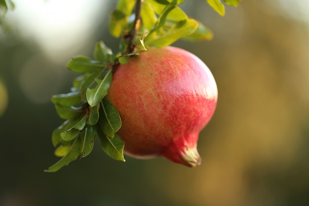 Pomegranate fruit on a branch on a blurred green