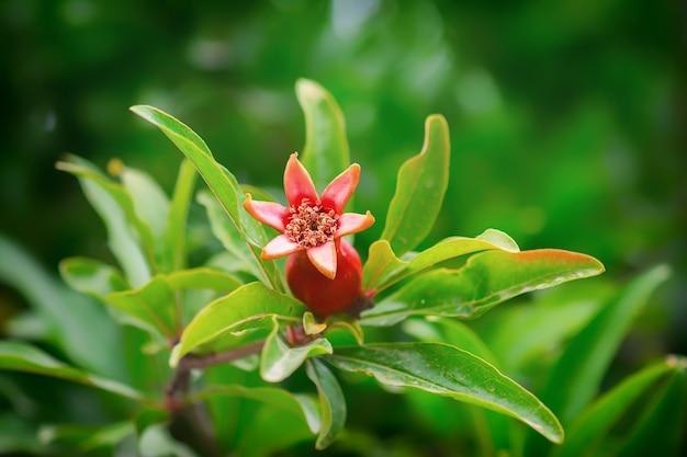정원에서 석류 과일 꽃