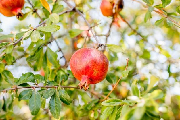 屋外の木に生えているザクロの果実