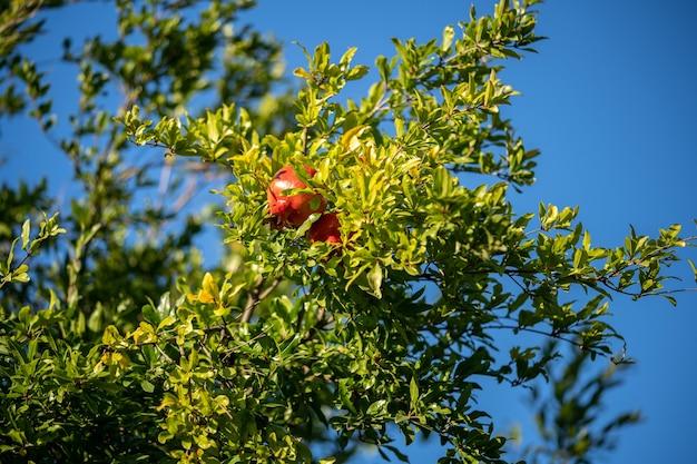 배경에 푸른 하늘이 나무에 석류 열매.