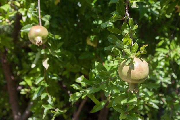 키프로스의 여름 햇살에 익어가는 석류 열매
