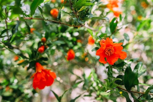 Pomegranate garnet fruit flower fresh garnet flower on foliage background