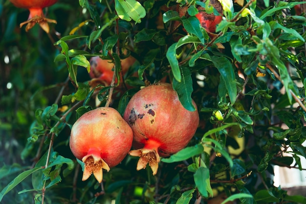 Pomegranate organic fruits on a branches in a garden