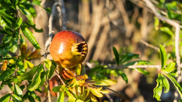 Pomegranate on a tree branch in summer