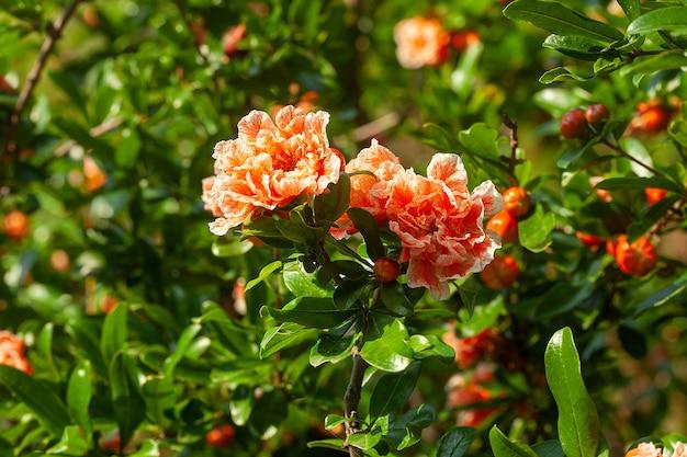 Pomegranate tree in the garden