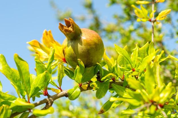 Pomegranate on the tree