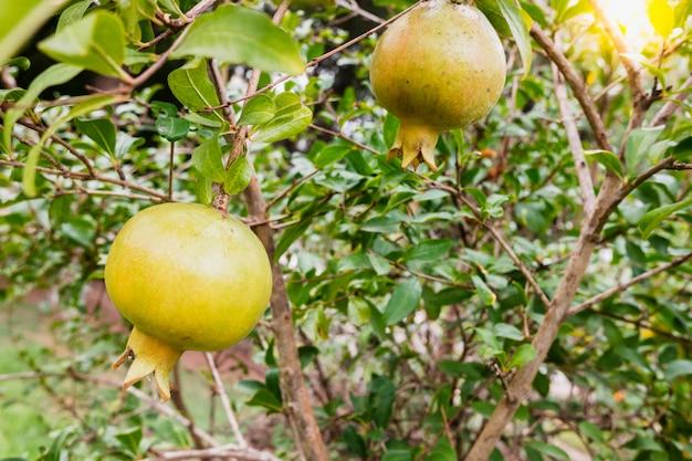 Pomegranates still green on the tree in a plantation.