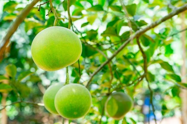 農業プランテーションの庭でザボン果実やシャドックツリー