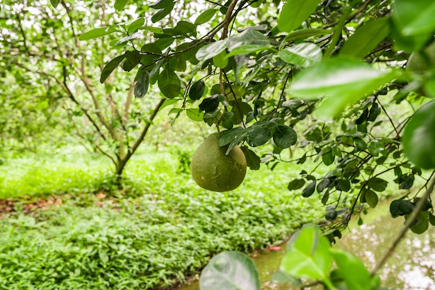 Pomelo fruit orchard in thailand.