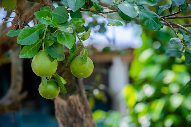 Pomelo on tree