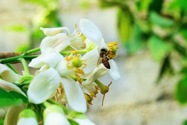 柑橘類のグランディス、シトラスマキシマ、pomeloのクローズアップの白い花の蜂
