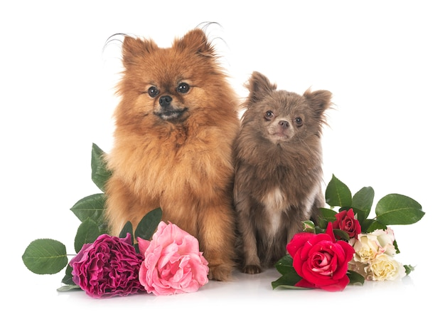 Pomeranian and chihuahua