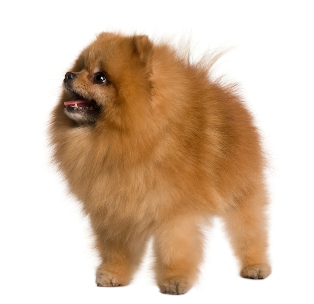 Pomeranian dog, 4 years old, standing