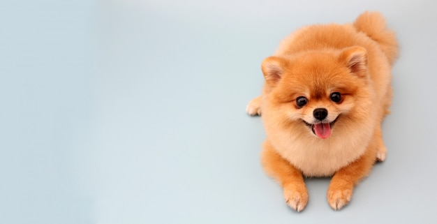 Pomeranian dog on blue.