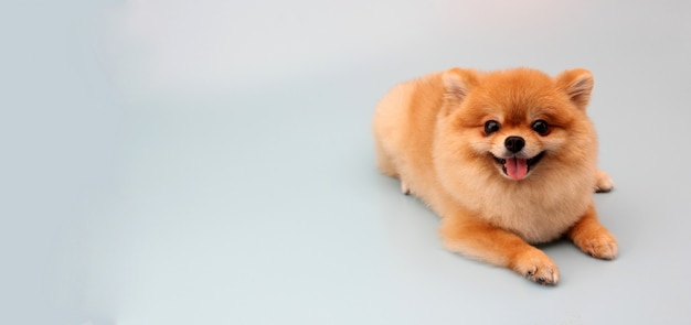 Pomeranian dog on blue