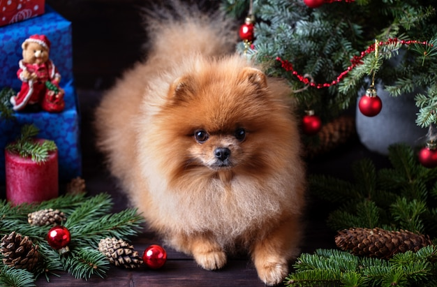 Pomeranian dog in christmas decorations on dark wooden background