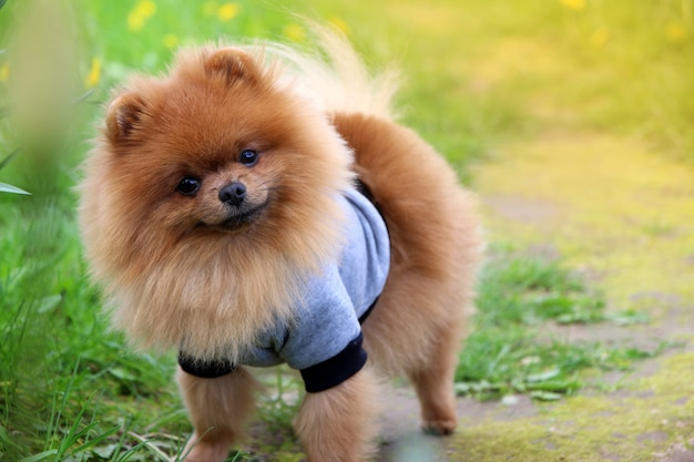 Pomeranian dog on countryside road.