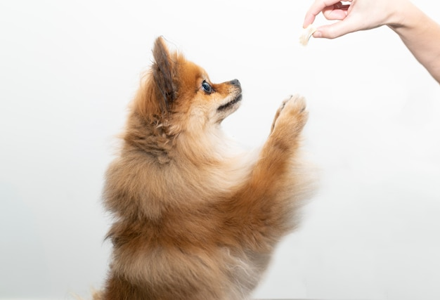 A pomeranian dog on his two legs tries to catch his food