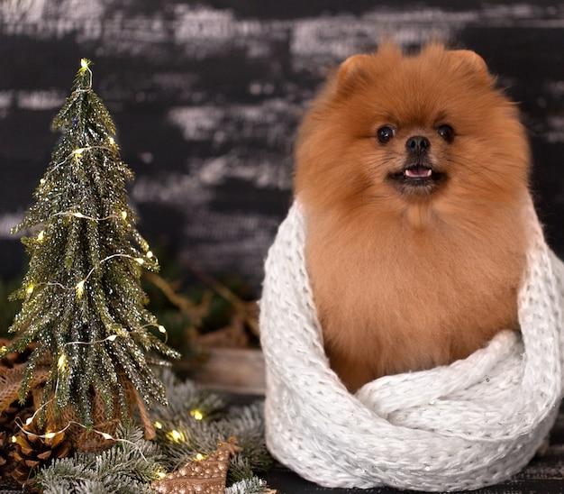Поморская собака в рождественские украшения на темном деревянном фоне
