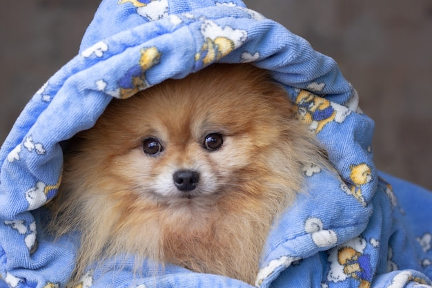 Pomeranian dog is dressed in blue clothes