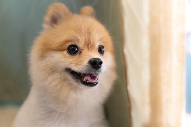 Померанский шпиц ждет, чтобы кто-то открыл дверь. милый щенок сидит у входной двери и смотрит на улицу
