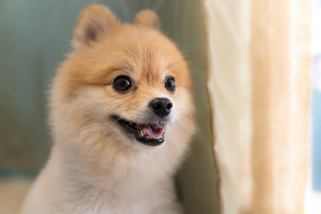 Pomeranian dog is waiting for someone to open the door. cute puppy dog sitting at the front door looking outside Premium Photo