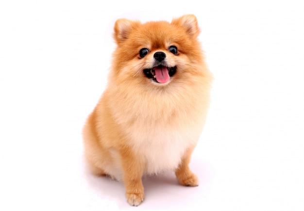 白い背景の上のポメラニアン犬。