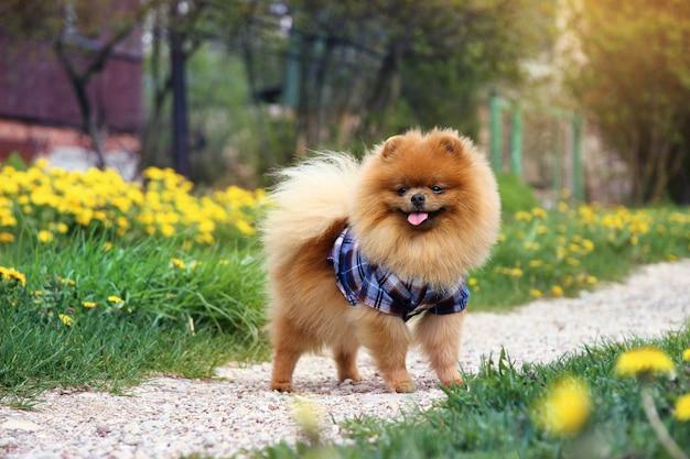 Поморская собака на сельской дороге.