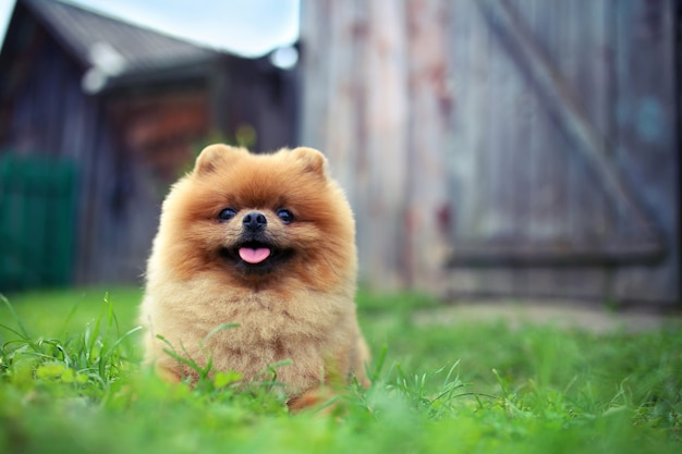 Pomeranian dog outdoor. beautiful and clever dog