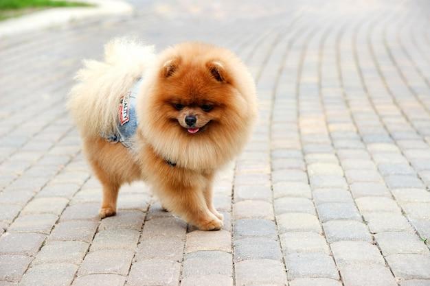 Pomeranian dog in a park. cute, beautiful dog