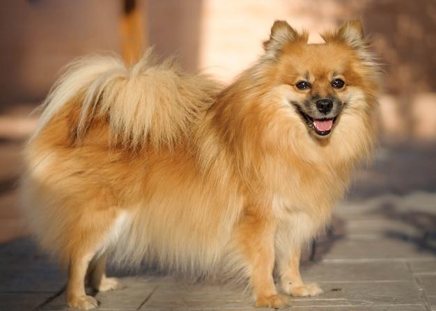 Поморская собака портрет с естественным освещением.
