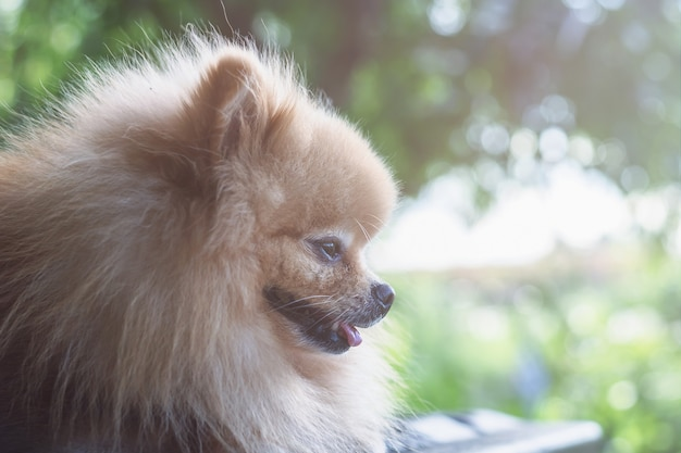 Pomeranian dog sleep  after running in the garden.relax time in afternoon