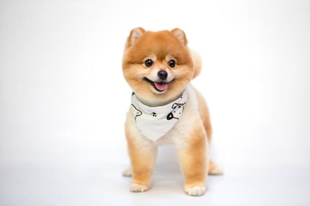Pomeranian dog standing on white