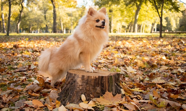 Pomeranian dog stands on a stump against the background of autumn leaves.
