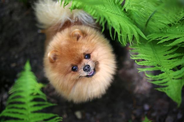 Pomeranian dog on a walk. dog outdoor. beautiful dog. dog in fern