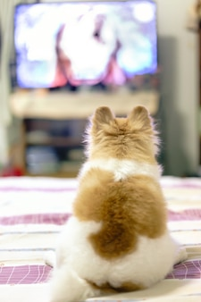 Pomeranian dog watching tv series on the bed