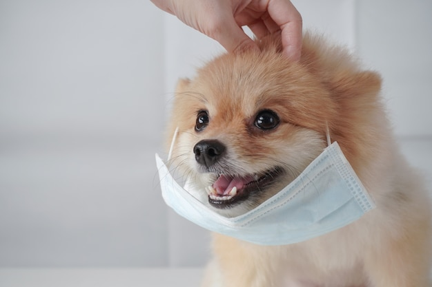 Pomeranian dog with brown hairs sitting and wearing mask